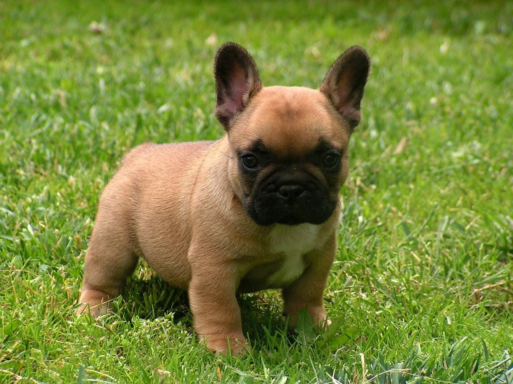 How To Choose A French Bulldog From A Breeder Ourfrenchie