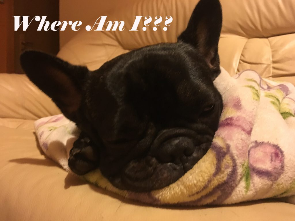 Frenchie First Day at home