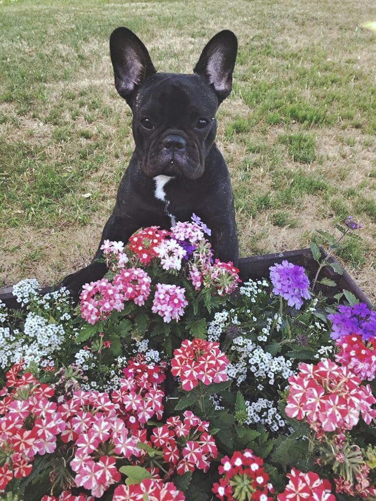 French bulldog with flowers